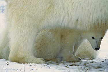Polar Bear (Ursus maritimus) cub peering out from beneath the warmth and protection of its mother, Churchill, Canada  -  Konrad Wothe