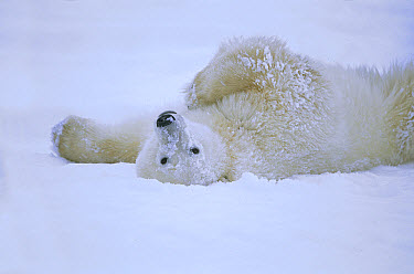 Polar Bear (Ursus maritimus) rolling in snow, Hudson Bay, Canada  -  Konrad Wothe
