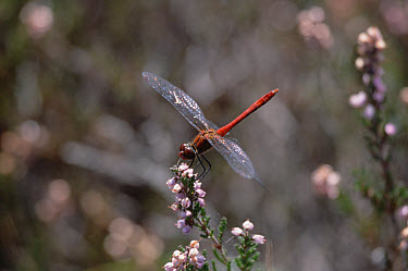 Vagrant Darter (Sympetrum vulgatum) male on flower, Germany  -  Konrad Wothe