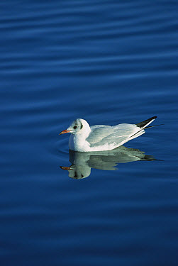 Black-headed Gull (Chroicocephalus ridibundus) on water, winter, Germany  -  Konrad Wothe
