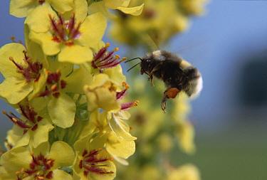 Garden Bumblebee (Bombus hortorum) collecting pollen on flower, Austria  -  Konrad Wothe