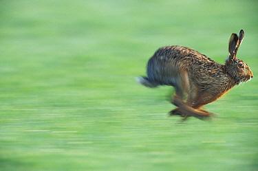 European Hare (Lepus europaeus) running, Austria