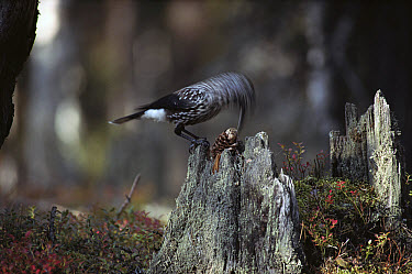 Spotted Nutcracker (Nucifraga caryocatactes) eating seeds from a pine cone, Europe  -  Konrad Wothe