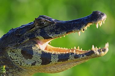 Jacare Caiman (Caiman yacare) thermoregulating by opening jaws, Pantanal, Brazil