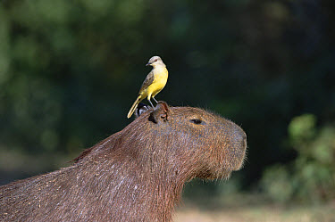 Cattle Tyrant (Machetornis rixosa) on Capybara (Hydrochoerus hydrochaeris), Pantanal, Brazil  -  Konrad Wothe