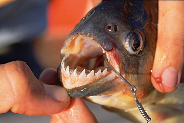 Blacktail Piranha (Pygocentrus piraya) on hook showing sharp teeth, Pantanal, Brazil