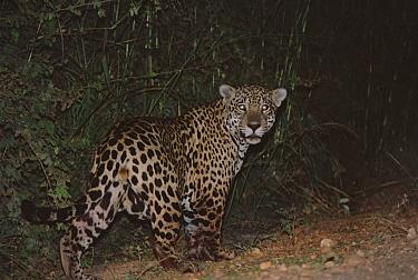 Jaguar (Panthera onca) eyes shining in the dark, Pantanal, Brazil  -  Konrad Wothe