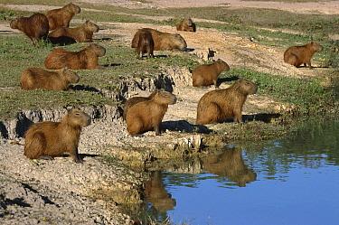 Capybara (Hydrochoerus hydrochaeris) group, Pantanal, Brazil