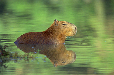 Capybara (Hydrochoerus hydrochaeris) wading through water, Pantanal, Brazil