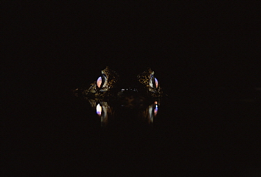 Spectacled Caiman (Caiman crocodilus) eyes shining at night, Pantanal, Mato Grosso, Brazil