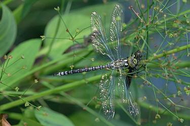 Southern Hawker Dragonfly (Aeshna cyanea) newly emerged from chrysalis, Munich, Germany  -  Konrad Wothe