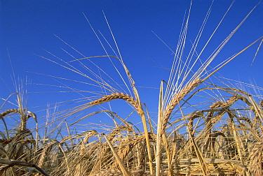 Barley (Hordeum sp) field showing heads of grain, Germany  -  Konrad Wothe