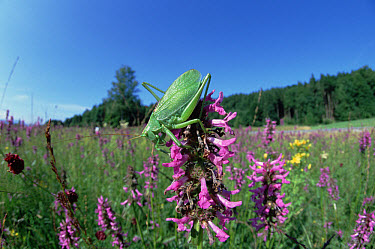Upland Green Bush-cricket (Tettigonia cantans) on purple flowers, Germany  -  Konrad Wothe