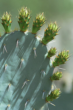 Engelmann Prickly Pear (Opuntia engelmannii) showing flower buds, Sonora Desert, North America  -  Konrad Wothe
