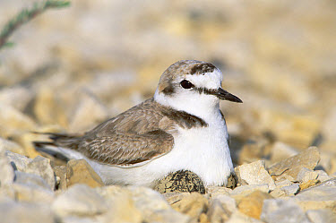 Kentish Plover (Charadrius alexandrinus) male at nest, Europe  -  Konrad Wothe