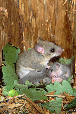 Fat Dormouse (Glis glis) mother nursing young in nest lined with acorns and oak leaves, Germany  -  Konrad Wothe