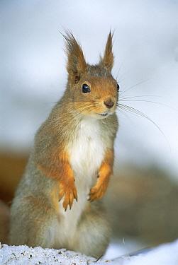 Eurasian Red Squirrel (Sciurus vulgaris) standing on hind legs in the winter snow, Europe  -  Konrad Wothe
