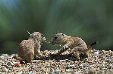 Black-tailed Prairie Dog (Cynomys ludovicianus) young tugging at either end of a blade of grass, Arizona  -  Konrad Wothe