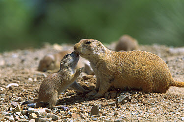 Black-tailed Prairie Dog (Cynomys ludovicianus) baby identifying its parent, Arizona  -  Konrad Wothe