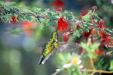 Black-chinned Hummingbird (Archilochus alexandri) drinking nectar from a blossom, Arizona  -  Konrad Wothe