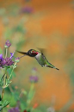 Anna's Hummingbird (Calypte anna) male collecting nectar from flower, Arizona  -  Konrad Wothe