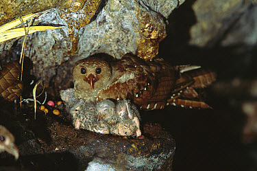 Oilbird (Steatornis caripensis) parent and chicks on nest in Aripo Caves, birds use a form of echolocation to navigate, Trinidad, West Indies, Caribbean  -  Konrad Wothe