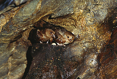 Oilbird (Steatornis caripensis) pair on nest in Aripo Caves, birds use a form of echolocation to navigate, Trinidad, West Indies, Caribbean  -  Konrad Wothe