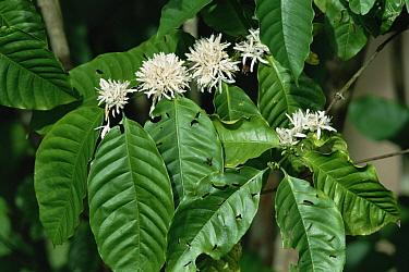 Coffee Bush (Coffea sp) in bloom, Caribbean  -  Konrad Wothe