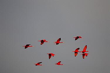 Scarlet Ibis (Eudocimus ruber) flock flying, Trinidad, West Indies  -  Konrad Wothe