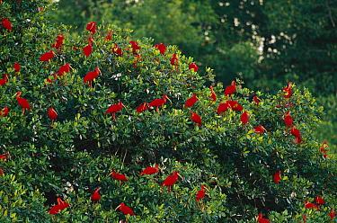 Scarlet Ibis (Eudocimus ruber) flock roosting in tree, Trinidad, West Indies, Caribbean  -  Konrad Wothe