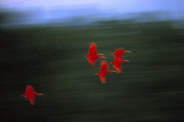 Scarlet Ibis (Eudocimus ruber) flock flying, Trinidad, West Indies, Caribbean  -  Konrad Wothe
