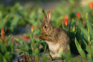European Rabbit (Oryctolagus cuniculus) grooming itself among tulips, Germany  -  Konrad Wothe