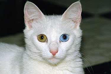 Domestic Cat (Felis catus) white adult cat with one blue eye and one brown eye, a condition called heterochromia which does not affect vision  -  Konrad Wothe