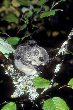 Russian Flying Squirrel (Pteromys volans), Ural mountains, Pechora-Ilych Reserve, Komi, Russia  -  Konrad Wothe