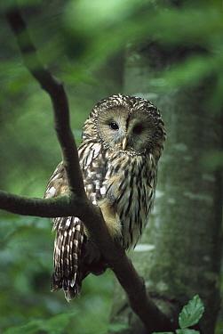 Ural Owl (Strix uralensis), Ural Mountains, Europe  -  Konrad Wothe