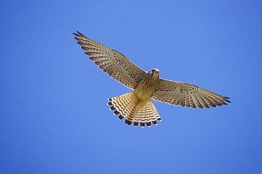 Lesser Kestrel (Falco naumanni) female flying, Turkey  -  Konrad Wothe