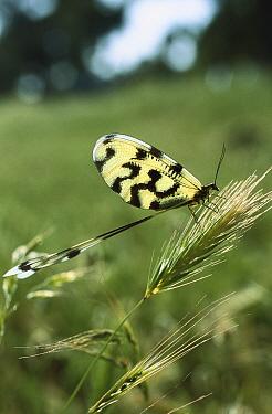 Lace-wing Butterfly (Nemoptera sinuata) on grass, Turkey  -  Konrad Wothe