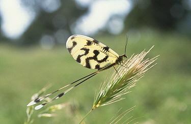 Lace-wing Butterfly (Nemoptera sinuata), Turkey  -  Konrad Wothe