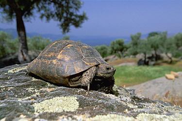 Mediterranean Spur-thighed Tortoise (Testudo graeca) threatened, Greece  -  Konrad Wothe