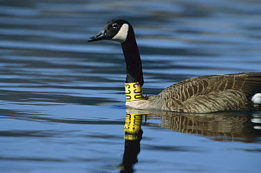 Canada Goose (Branta canadensis) adult on water with tracking tag around its neck, Germany  -  Konrad Wothe