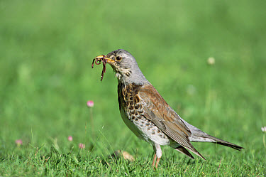 Fieldfare (Turdus pilaris) with worms in beak, Germany  -  Konrad Wothe