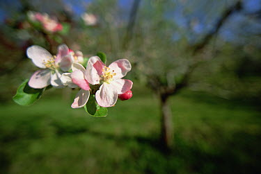 Apple (Malus sp) tree in blossom, Germany  -  Konrad Wothe