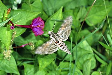 Convolvulus Hawk-moth (Agrius convolvuli) feeding on flower with proboscis, Italy  -  Konrad Wothe