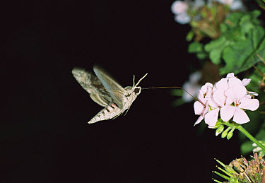 Convolvulus Hawk-moth (Agrius convolvuli) hovering and feeding with proboscis on flower, Italy  -  Konrad Wothe
