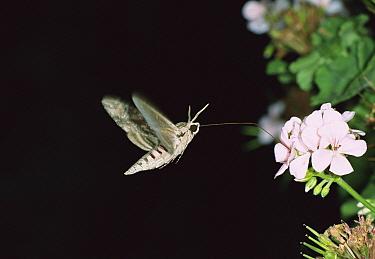 Convolvulus Hawk-moth (Agrius convolvuli) hovering and feeding with proboscis on flower, Italy  -  Konrad Wothe