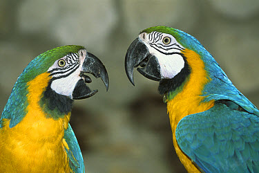 Blue and Yellow Macaw (Ara ararauna) captive pair  -  Konrad Wothe