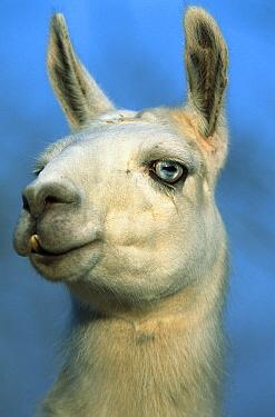 Llama (Lama glama) portrait  -  Konrad Wothe