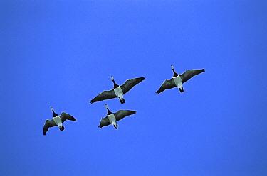 Barnacle Goose (Branta leucopsis) flock of four flying, Germany  -  Konrad Wothe