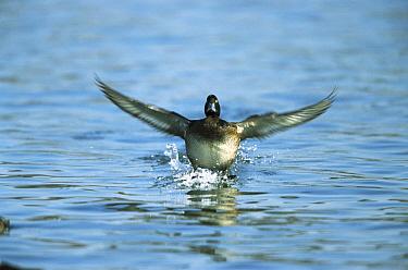 Tufted Duck (Aythya fuligula) female landing on water, Germany  -  Konrad Wothe