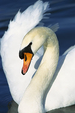 Mute Swan (Cygnus olor) close-up portrait, Europe  -  Konrad Wothe